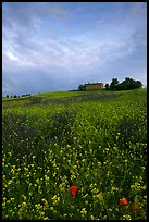 Carpet of spring wildflowers and house on ridge. Tuscany, Italy ( color)
