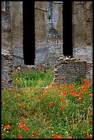 Red poppies and ruins of the Praetorium, Villa Hadriana. Tivoli, Lazio, Italy (color)