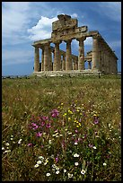 Wilflowers and Tempio di Cerere (Temple of Ceres). Campania, Italy