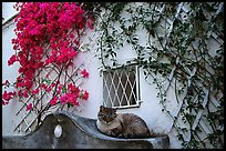 Cat and white walls with red flowers, Positano. Amalfi Coast, Campania, Italy
