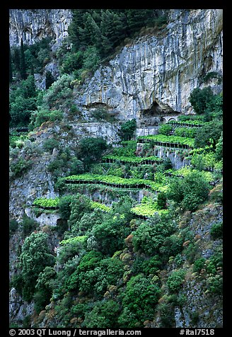 Cliffs and hillside terraces cultivated with lemons. Amalfi Coast, Campania, Italy (color)