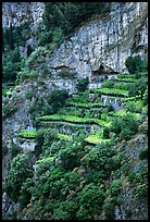 Cliffs and hillside terraces cultivated with lemons. Amalfi Coast, Campania, Italy