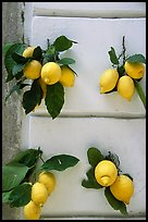 Lemons and wall. Amalfi Coast, Campania, Italy