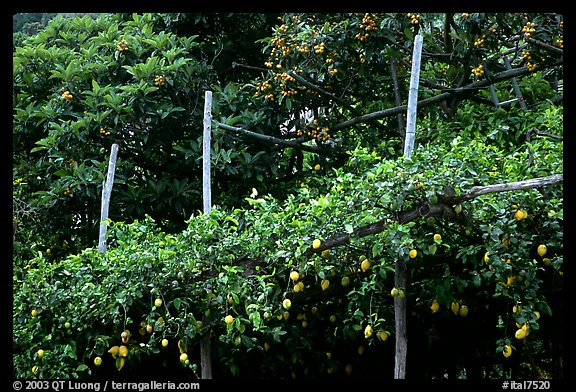 Lemon trees. Amalfi Coast, Campania, Italy (color)