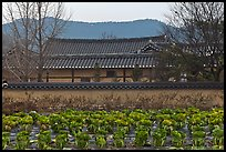 Cabbage field and residence. Hahoe Folk Village, South Korea