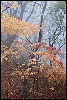 Autumn leaves in fog, Seokguram. Gyeongju, South Korea (color)