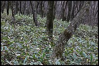 Oak trees and undergrowth, Hallasan. Jeju Island, South Korea (color)