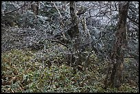 Frosted oak forest, Hallasan National Park. Jeju Island, South Korea