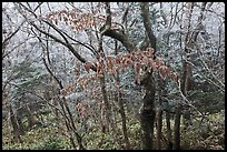 Oak forest with frost on branches, Hallasan. Jeju Island, South Korea (color)