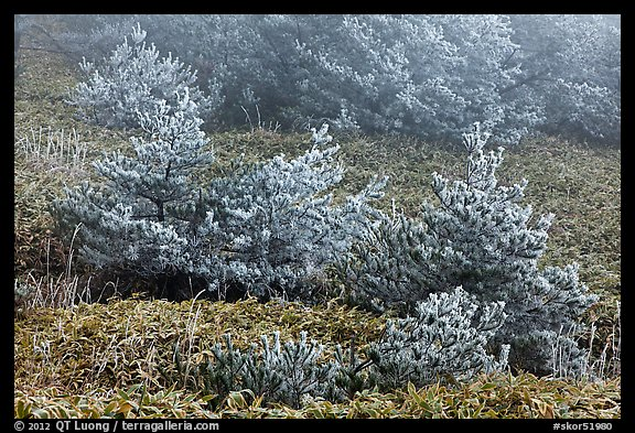 Frosted pine trees and fog, Mount Halla. Jeju Island, South Korea