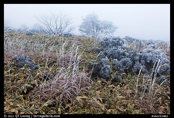 Frosted plants in foggy landscape. Jeju Island, South Korea (color)