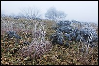 Frosted plants in foggy landscape. Jeju Island, South Korea ( color)