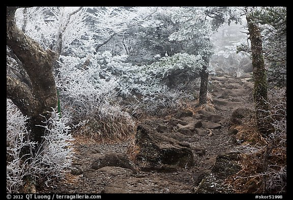 Frosted trees, Yeongsil trail, Mt Halla. Jeju Island, South Korea (color)