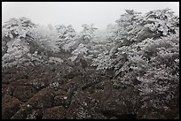 Rocks and ice-covered forest, Hallasan. Jeju Island, South Korea (color)