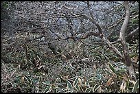 Shrubs and dwarf-fir with frost, Hallasan. Jeju Island, South Korea