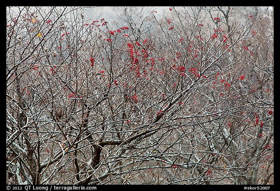 Bare trees with berries, Mount Halla. Jeju Island, South Korea (color)