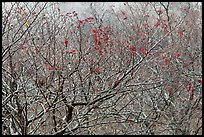 Bare trees with berries, Mount Halla. Jeju Island, South Korea