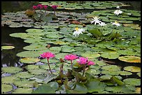 Water lillies in bloom,  Singapore Botanical Gardens. Singapore ( color)