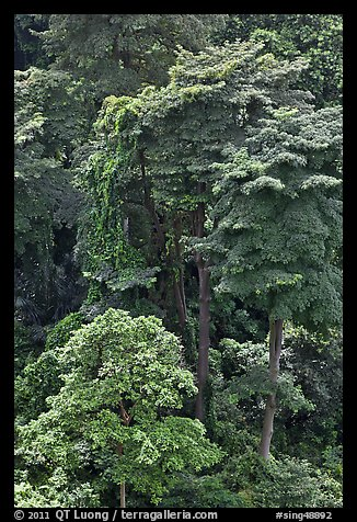 Forest trees. Singapore (color)