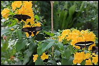 Black butterflies and flowers, Sentosa Island. Singapore (color)