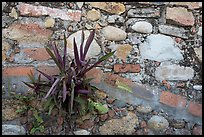 Succulent plant growing out of old wall, Puerto Vallarta, Jalisco. Jalisco, Mexico