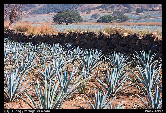 Agave field and volcanic rock wall. Mexico