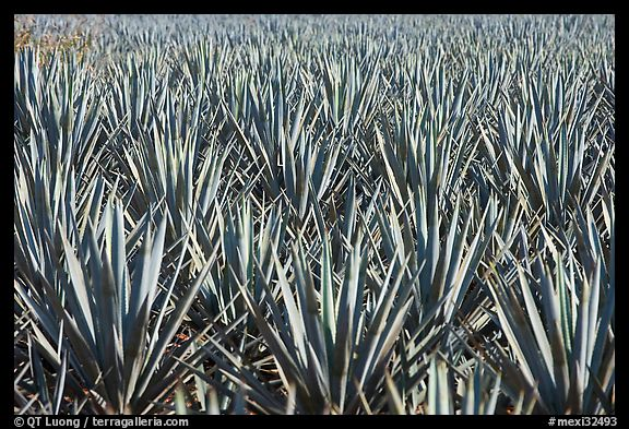Blue agaves near Tequila. Mexico (color)