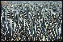 Blue agaves near Tequila. Mexico