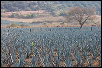 Agave plantation and tree. Mexico