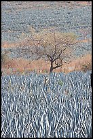 Blue Agave field and tree. Mexico