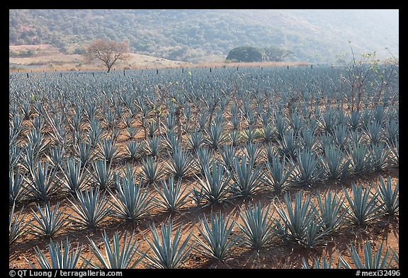 Field of agaves near Tequila. Mexico
