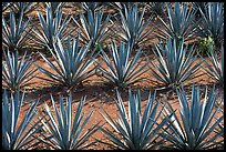Rows of  blue agaves near Tequila. Mexico