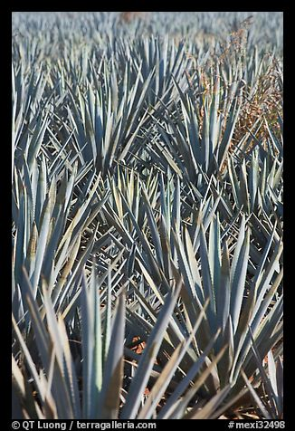 Dense rows of blue agaves. Mexico (color)
