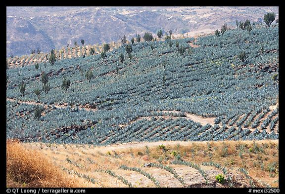 Agave field on rolling hills. Mexico