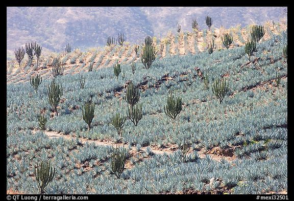 Cactus amongst agave field. Mexico (color)