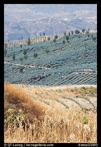 Blue agave field on hillside. Mexico (color)