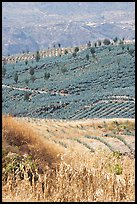 Blue agave field on hillside. Mexico
