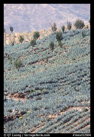 Cactus amongst blue agaves. Mexico (color)