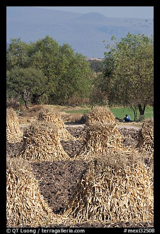 Man sitting beneath a tree near a field with stacks of corn hulls. Mexico (color)