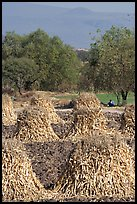 Man sitting beneath a tree near a field with stacks of corn hulls. Mexico