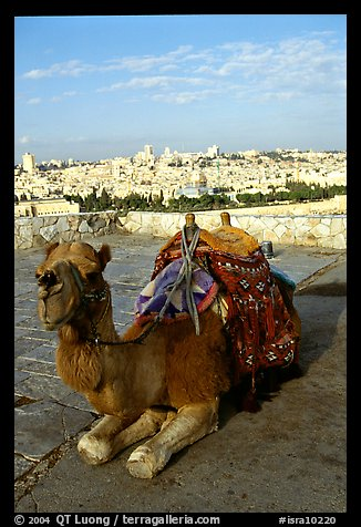 Camel with town skyline in the background. Jerusalem, Israel