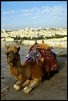 Camel with town skyline in the background. Jerusalem, Israel (color)