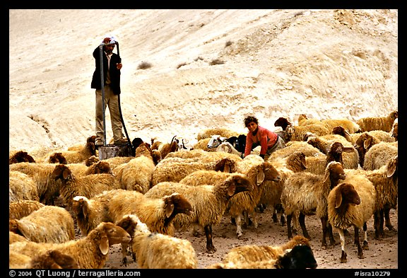 Man and girl feeding water to a hard of sheep, Judean Desert. West Bank, Occupied Territories (Israel) (color)