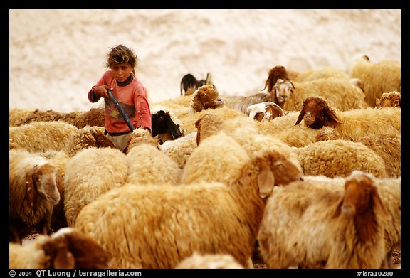 Bedouin girl feeding water to a hard of sheep, Judean Desert. West Bank, Occupied Territories (Israel) (color)
