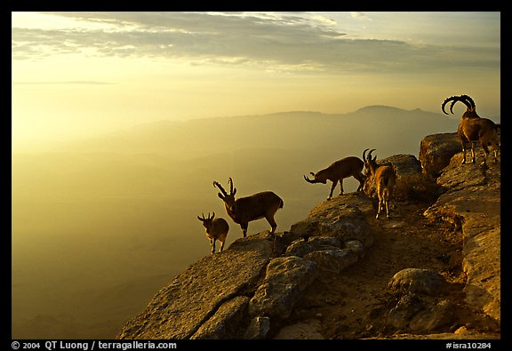 Mountain ibex on the rim of Wadi Ruman  Crater, sunrise. Negev Desert, Israel (color)