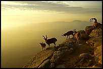 Mountain ibex on the rim of Wadi Ruman  Crater, sunrise. Negev Desert, Israel