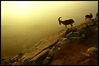 Mountain ibex on the rim of Maktesh Ramon Crater, sunrise. Negev Desert, Israel