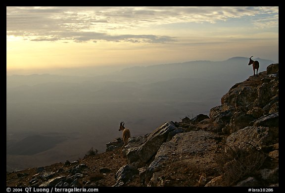 Ibex on the rim of Wadi Ruman (Maktesh Ramon) Crater, sunrise. Negev Desert, Israel (color)
