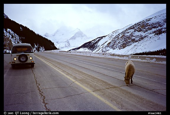 WV bus and mountain goat on the Banff-Jasper highway. Canada (color)