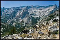 Pack horses on trail above Le Conte Canyon. Kings Canyon National Park, California